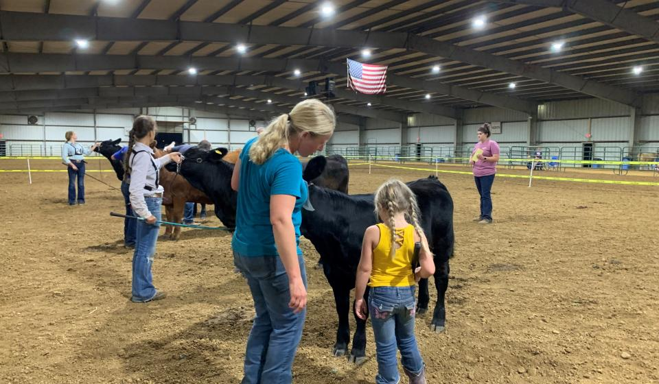 Beef cattle in the show ring with their handlers.